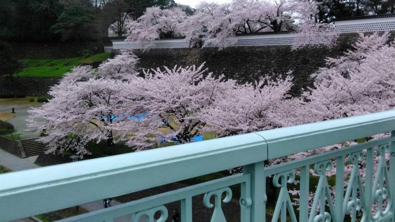 金沢兼六園金沢城の桜