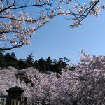 金沢桜、晴れ2017