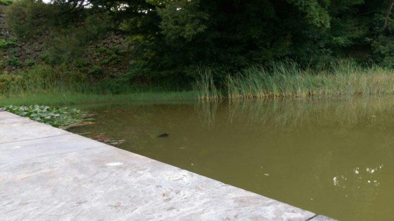 金沢城公園湿生園亀