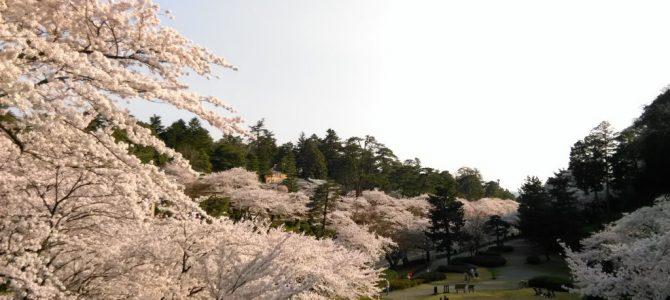 桜満開ピンク色が続く石川門から兼六園