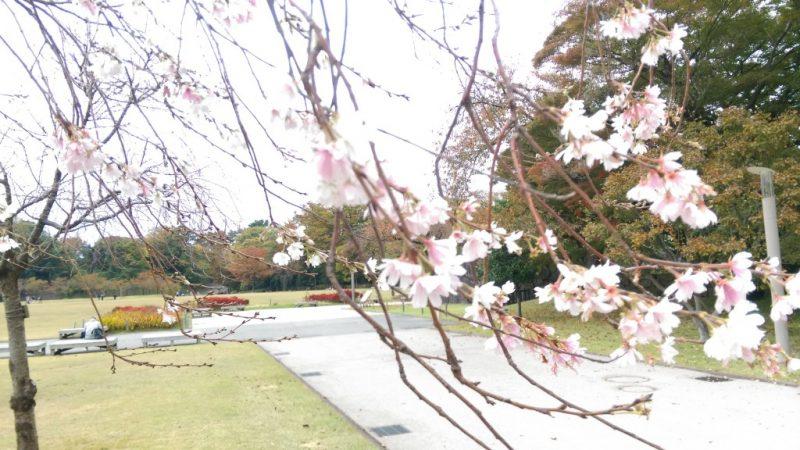 金沢城址公園10月桜
