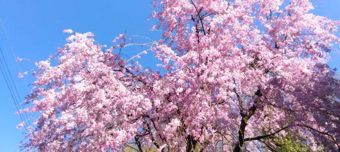 枝垂れ桜と始まる、新しい「古民芸みや」のお店