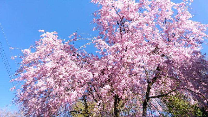みや家枝垂れ桜