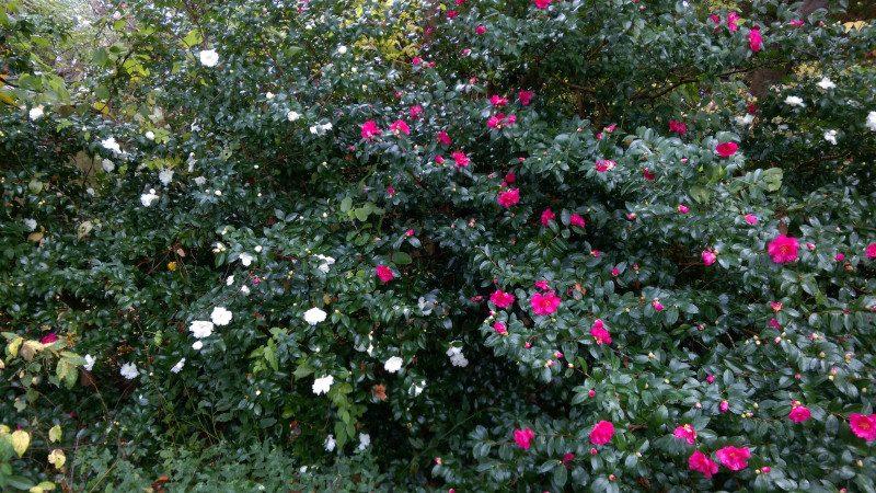 白と赤の山茶花