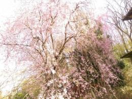 自宅しだれ桜