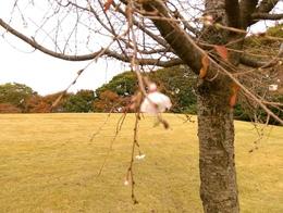 金沢城址公園秋桜